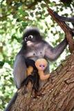 dusky обезьяна листьев Стоковая Фотография