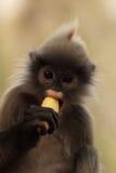 dusky обезьяна листьев Стоковое Изображение