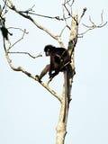 dusky обезьяна листьев Стоковое Фото