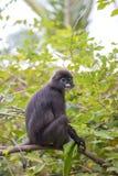 Dusky обезьяна лист, spectacled обезьяна лист, langur сидит среди листьев в дереве в одичалом Положение: Остров Perhentian, Mala Стоковые Изображения
