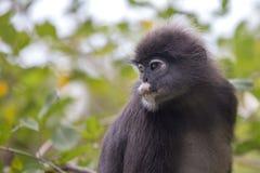 Dusky обезьяна лист, spectacled обезьяна лист, langur сидит среди листьев в дереве в одичалом Положение: Остров Perhentian, Mala Стоковое Изображение RF