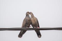 Dusky поцелуй голубя черепахи Стоковые Изображения