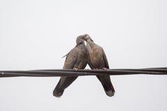 Dusky поцелуй голубя черепахи Стоковое Изображение RF