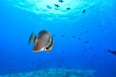 dusky batfish arkivfoton