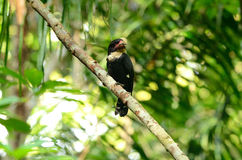 Dusky broadbill Stock Photos