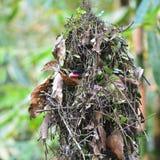 Dusky broadbill bird Stock Photo