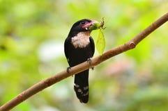 Dusky broadbill bird Royalty Free Stock Photos