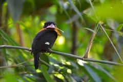 Dusky broadbill bird Royalty Free Stock Photography