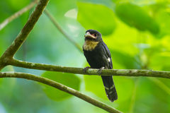 Dusky Broadbill Royalty Free Stock Images