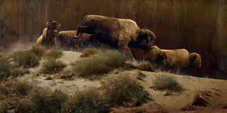 Dusky Buffalo. A herd of buffalo gallop through the shadows of a massive cliff and are highlighted by the golden evening sunlight Royalty Free Stock Photography