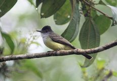 Dusky-capped Flycatcher,Ecuador Stock Photography