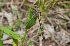 Dusky Clubtail. Perched on grass royalty free stock photos