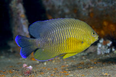 Dusky Damselfish - Offshore Panama City Beach. A Dusky Damselfish, Stegastes fuscu, swimming over the deck of the bridge Span 2 artificial reef at about 100 feet Stock Images