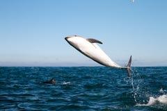 Dusky delfinbanhoppning Arkivbilder