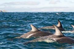 Dusky delfiner Arkivfoton