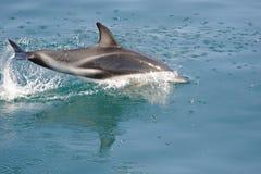 Dusky Dolphin Royalty Free Stock Photo