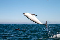 Dusky dolphin jumping Stock Images