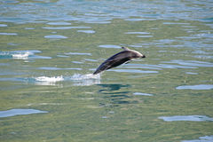 Dusky Dolphin jumping. Clean out of the water, Kaikoura Coast, South Island, New Zealand stock photo