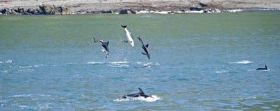 Dusky Dolphin jumping. Dusky Dolphins playing, Kaikoura Coast, South Island, New Zealand stock photos