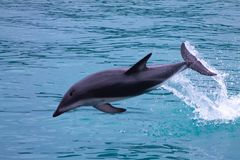 Dusky Dolphin jumping out of the sea stock photography