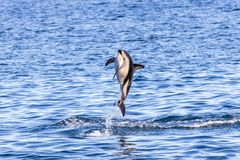 Dusky dolphin jumping out of water stock image