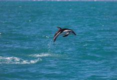 Dusky dolphin Lagenorhynchus obscurus jumping out of the water near Kaikoura, New Zealand. royalty free stock images