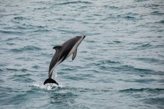 Dusky dolphin leaing out of the water. Near Kaikoura, New Zealand. Kaikoura is a popular tourist destination for watching and swimming with dolphins stock photo