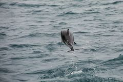 Dusky dolphin leaing out of the water. Near Kaikoura, New Zealand. Kaikoura is a popular tourist destination for watching and swimming with dolphins royalty free stock photo