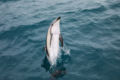 Dusky dolphin leaing out of the water. Near Kaikoura, New Zealand. Kaikoura is a popular tourist destination for watching and swimming with dolphins stock images