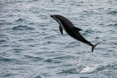 Dusky dolphin leaing out of the water. Near Kaikoura, New Zealand. Kaikoura is a popular tourist destination for watching and swimming with dolphins royalty free stock images