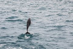 Dusky dolphin leaing out of the water. Near Kaikoura, New Zealand. Kaikoura is a popular tourist destination for watching and swimming with dolphins royalty free stock photos