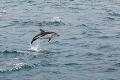 Dusky dolphin leaing out of the water. Near Kaikoura, New Zealand. Kaikoura is a popular tourist destination for watching and swimming with dolphins royalty free stock image