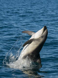 Dusky Dolphin, Patagonia, Argentina. Royalty Free Stock Photos