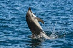Dusky Dolphin Royalty Free Stock Photos