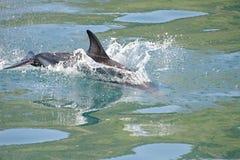 Dusky Dolphin playing. Kaikoura Coast, South Island, New Zealand royalty free stock images