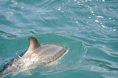 Dusky Dolphin playing. Kaikoura Coast, South Island, New Zealand stock photography