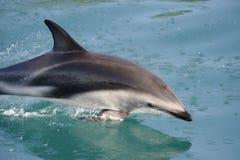 Dusky Dolphin playing Royalty Free Stock Photos