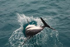Dusky dolphin playing in the ocean near Kaikoura, New Zealand. Kaikoura is a popular tourist destination for watching and swimming with dolphins royalty free stock images