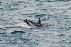 Dusky dolphin swimming off the coast of Kaikoura, New Zealand. Kaikoura is a popular tourist destination for watching and swimming with dolphins stock photography