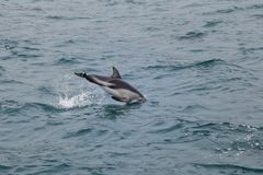 Dusky dolphin swimming off the coast of Kaikoura, New Zealand. Kaikoura is a popular tourist destination for watching and swimming with dolphins royalty free stock image