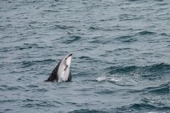 Dusky dolphin swimming off the coast of Kaikoura, New Zealand. Kaikoura is a popular tourist destination for watching and swimming with dolphins stock image