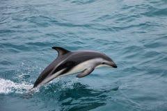 Dusky dolphin swimming off the coast of Kaikoura, New Zealand stock photos