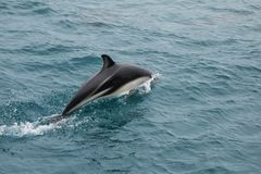 Dusky dolphin swimming off the coast of Kaikoura, New Zealand. Kaikoura is a popular tourist destination for watching and swimming with dolphins stock images