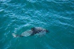 Dusky dolphin Stock Photo