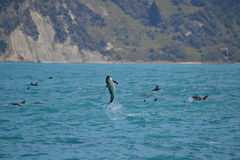Dusky Dolphin in Kaikoura, New Zealand. Whilst on a whale watching trip we came across a pod of 150+ Dusky Dolphins socialising. This individual decided on a Royalty Free Stock Photo