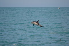 Dusky Dolphin in Kaikoura, New Zealand Stock Photo