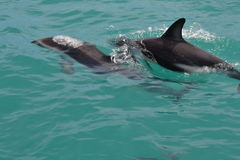 Dusky Dolphin in Kaikoura, New Zealand. Whilst on a whale watching trip we came across a pod of 150+ Dusky Dolphins socialising. These two came so close to the Royalty Free Stock Image