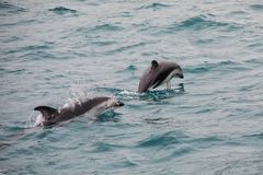 Dusky dolphins swimming off the coast of Kaikoura, New Zealand. Kaikoura is a popular tourist destination for watching and swimming with dolphins stock photos