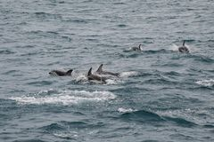 Dusky dolphins swimming off the coast of Kaikoura, New Zealand. Kaikoura is a popular tourist destination for watching and swimming with dolphins royalty free stock photos