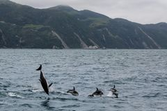 Dusky dolphins swimming off the coast of Kaikoura, New Zealand. Kaikoura is a popular tourist destination for watching and swimming with dolphins stock images